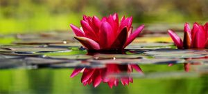 two waterlilies